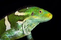 Vitiensis crestato Fijian di Brachylophus dell'iguana fotografie stock