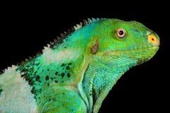 Vitiensis crestato Fijian di Brachylophus dell'iguana fotografie stock libere da diritti