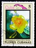 Vitifolium Cochlospermum και χάρτης της Κούβας, serie λουλούδια της Κούβας, Στοκ εικόνες με δικαίωμα ελεύθερης χρήσης