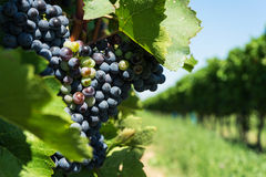 Vitis with blue grapes Stock Image