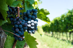 Vitis with blue grapes. Agriculture landscape of vineyard with fruits Stock Photos
