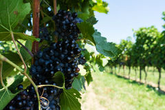 Vitis with blue grapes Royalty Free Stock Photography