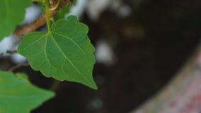 Vitis cinerea leaf stock photo