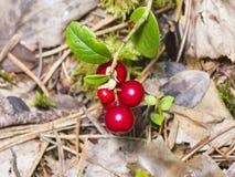 Vitis-idaea do Vaccinium, airela madura, arbusto pequeno com bagas e macro das folhas, foco seletivo, DOF raso Imagem de Stock Royalty Free