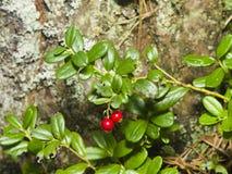 Vitis-idaea do Vaccinium, airela madura, arbusto pequeno com bagas e macro das folhas, foco seletivo, DOF raso Fotografia de Stock