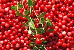 Vitis-idaea Vaccinium Lingonberry стоковые изображения rf