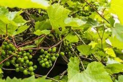 Vitis L. - grapevines. Unripe fruit of the vine (Vitis L., grapevines Stock Photos