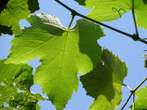 Vitis - leaves. In the photo are leaves from an flowering plant, vitis. Photo was made in summer near city Maribor, Slowenien Stock Photo