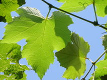 Vitis - leaves. In the photo are leaves from an flowering plant, vitis. Photo was made in summer near city Maribor, Slowenien Royalty Free Stock Photo