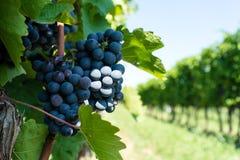 Vitis med blåa druvor arkivfoton
