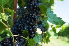 Vitis met blauwe druiven Royalty-vrije Stock Foto's