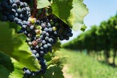 Vitis met blauwe druiven Stock Afbeelding
