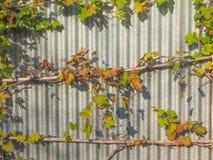 Vitis plant Stock Photography