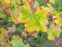 Vitis plant leaf Stock Image
