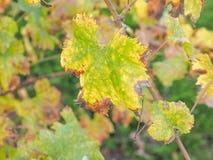 Vitis plant leaf Royalty Free Stock Image