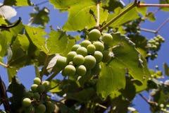 Vitis - vinifera, σταφύλια Στοκ Φωτογραφία