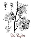 Vitis vinifera or common grape vine, botanical vintage engraving Stock Image
