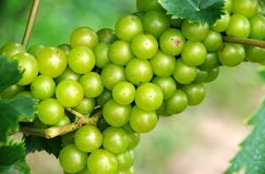 Wine grapes on the vine in the ripe phase stock photos