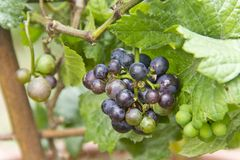 Vitis Vinifera. A new pixie grape vine with ripe grapes to be eaten or to make wine Royalty Free Stock Photos