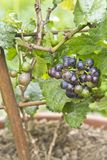 Vitis Vinifera. A new pixie grape vine with ripe grapes to be eaten or to make wine Stock Images