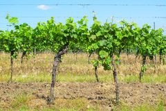 Vitis vinifera Stock Photos