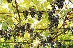 Vitis vinifera Vitis vinifera Stock Photography