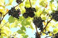 Vitis vinifera Vitis vinifera. Vine, perennial woody vine Royalty Free Stock Photography