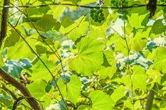 Vitis vinifera (grape vine) green leaves in the sun, close up. Stock Photos