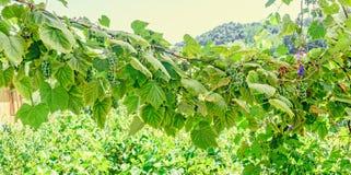 Vitis - Vinifera & x28; gronowy vine& x29; zieleń opuszcza w słońcu, zakończenie up Obraz Stock