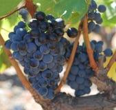 Vitis vinifra winegrape. Blue winegrapes, grenache, vitis vinifra for making red wine Royalty Free Stock Photo