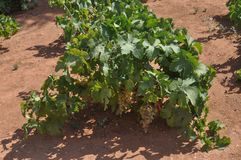 Vitis (Grapevine) plant. Vitis (Vitaceae) aka vine or grapevine plant Royalty Free Stock Images