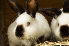 Vitkaniner i en kaninbur Äta gräs royaltyfri bild