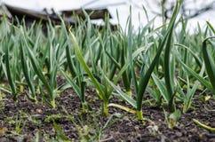 Vitlök som växer på jorden Arkivbild