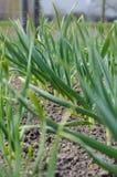 Vitlök som växer på jorden Royaltyfri Foto
