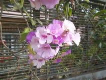 Vitlökvinrankablomma eller Mansoa alliaceaviolet Fotografering för Bildbyråer