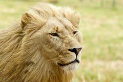Stirrig lion Arkivfoto