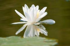 Vitnäckros med reflexion Royaltyfri Bild