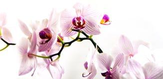 Blommavit- och lilaorchids Arkivbilder