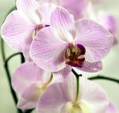 Blommavit- och lilaorchids Arkivfoton