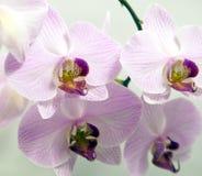 Blommavit- och lilaorchids Royaltyfria Bilder