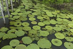 Vitoria Regia i Manaus Brasilien Fotografering för Bildbyråer