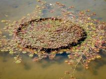 Vitoria regia in lake stock image