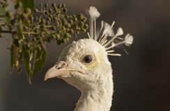 Vitpåfågelmanlig arkivbild