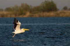 Vitpelikan i den Danube deltan Arkivbilder