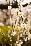Blomstra för plommon Arkivfoto