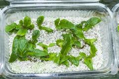 Vitro plant Royalty Free Stock Image
