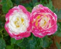 Vitrosen för två rosa färger blommar i trädgården arkivfoto