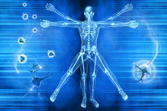 Vitruvian man. Human body of a Vitruvian man with skeleton for study royalty free illustration