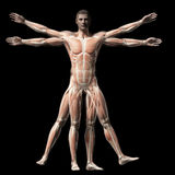 The vitruvian man - muscle system Royalty Free Stock Photography