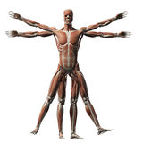 Vitruvian man - muscle system Royalty Free Stock Image